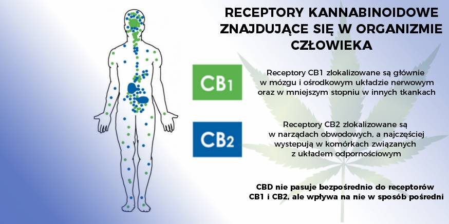 Rola układu endokannabinoidowego